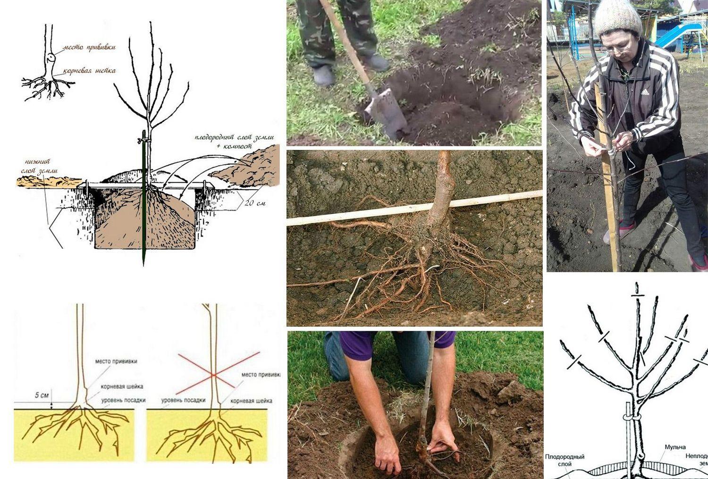 Посадочную яму для груши сорта Забава готовят, исходя из размеров ее корневой системы