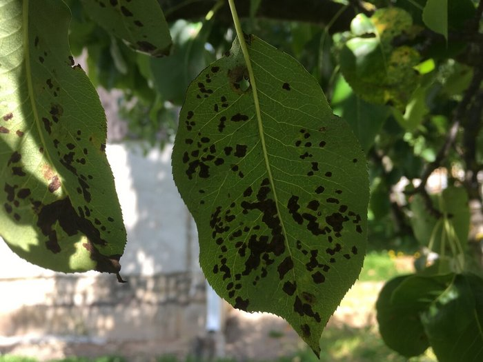 При условии правильного ухода растение редко повреждается паршой