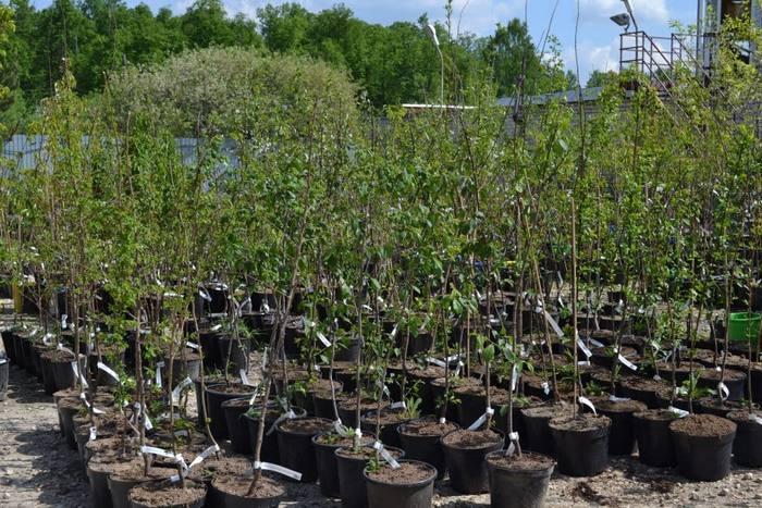 Саженцы Завеи обычно высаживают осенью, примерно за 20 дней до начала морозов