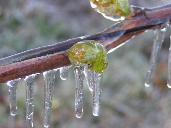 Сильные и длительные заморозки могут неблагоприятно сказаться на состоянии почек