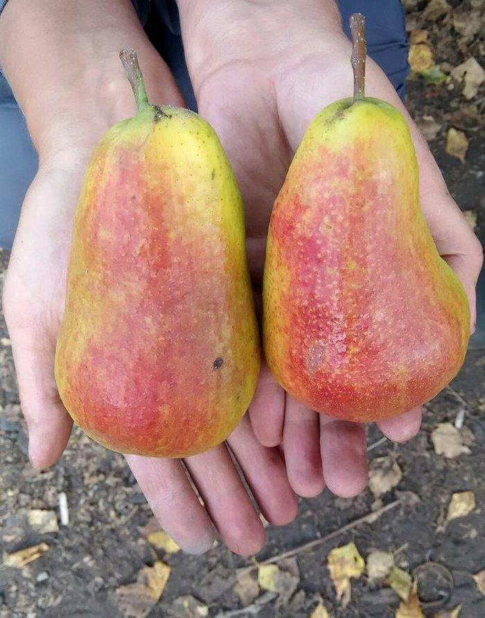 Сорт довольно скороплодный, первый урожай приносит уже на 4 год