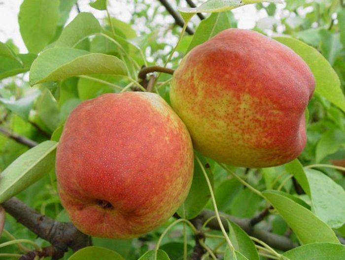 Сорт груши Академическая является скороплодным, урожайным и неприхотливым