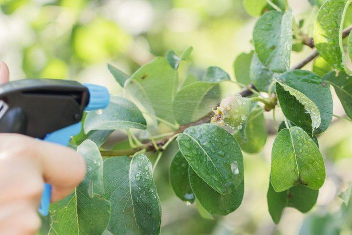 Сорт устойчив к болезням и вредителям, но профилактика важна для поддержания здоровья растения
