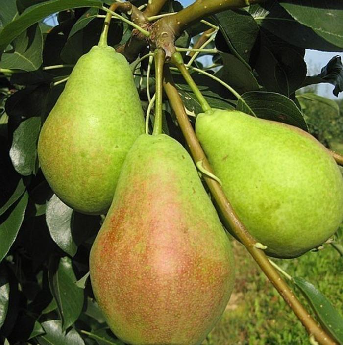 Созревают первые плоды уже в середине августа