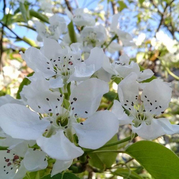 Цветение груши – красивое и ароматное явление