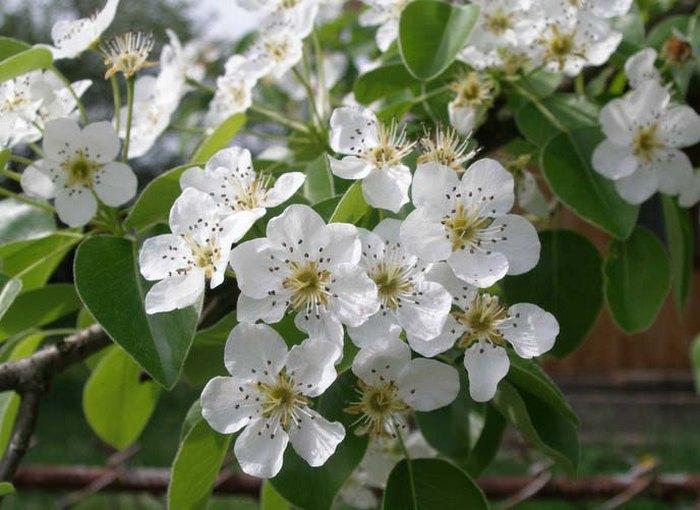 Цветы появляются ранней весной, когда температура воздуха устойчиво теплая