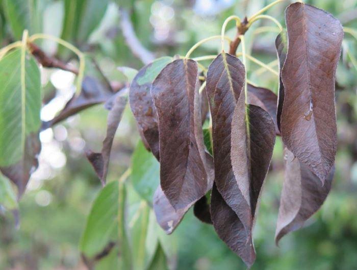 Темно-коричневого или черного цвета пятна является признаком бактериального ожога