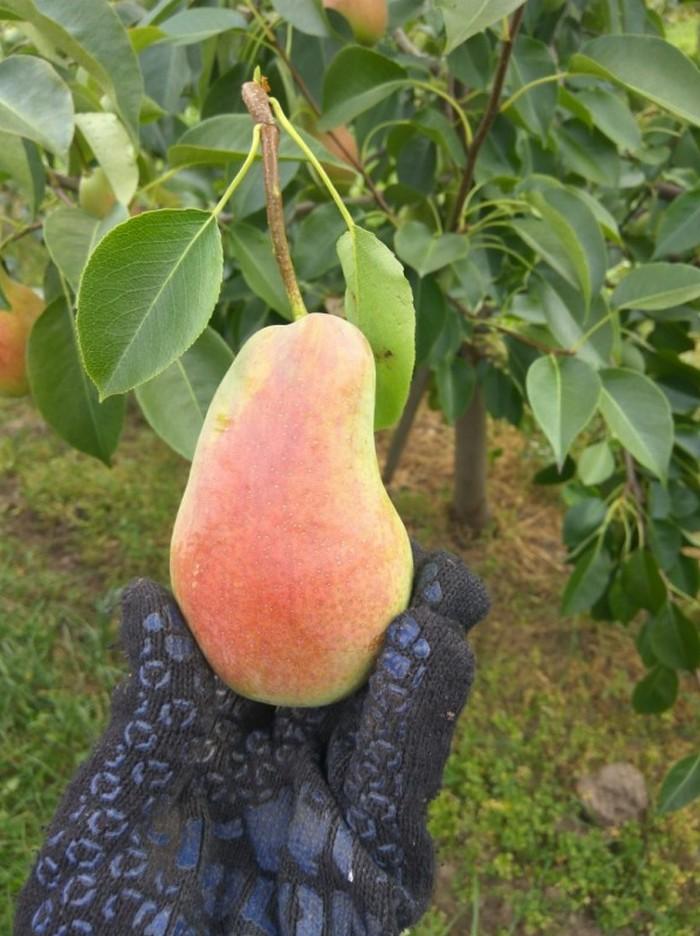 Урожай со зрелого деревца можно собирать в конце сентября