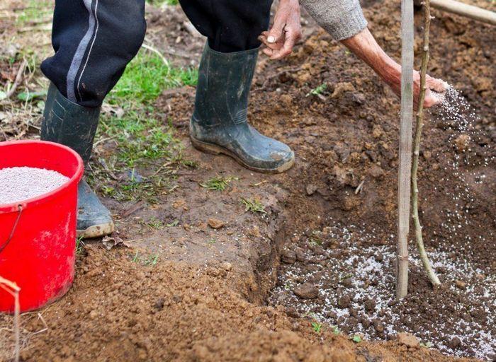 В первый год вегетации растение не нуждается в подкормке