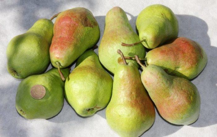 В урожае, снятом со взрослого дерева, преобладают плоды средних и выше средних размеров