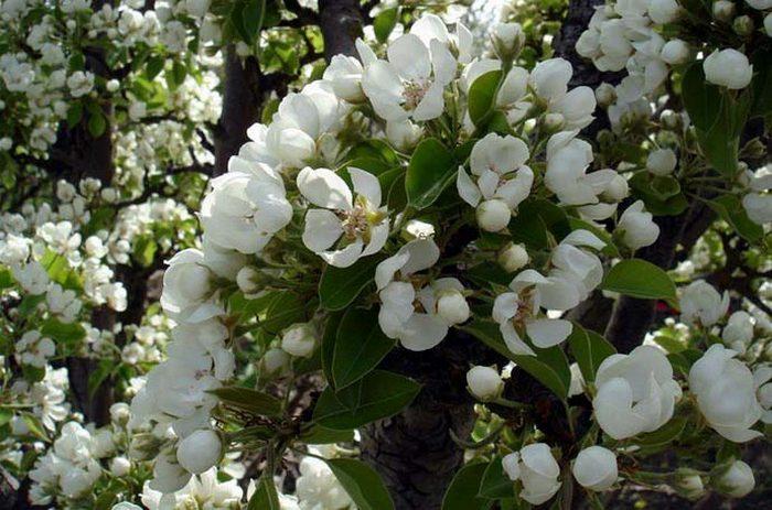 Зацветает плодовая культура в начале мая