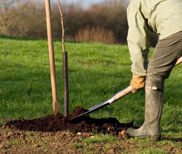 Благоприятное влияние на рост и развитие Челябинской зимней оказывают минеральные и органические удобрения