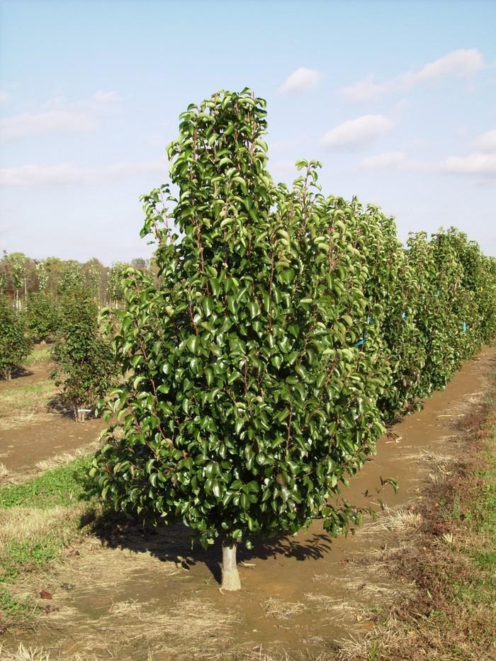 Дерево средней силы роста, с редкой пирамидальной кроной