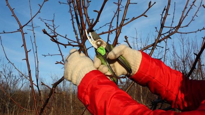 Формирующую обрезку выполняют для придания дереву аккуратной формы