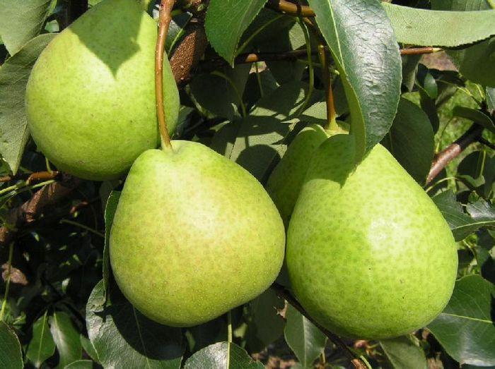 Груша сорта Нежность завоевала свою популярность благодаря высокой урожайности