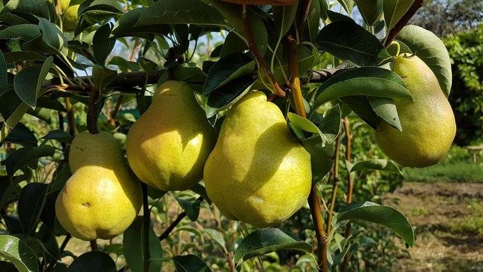 Грушу сорта Сокровище любят выращивать садоводы во всём мире