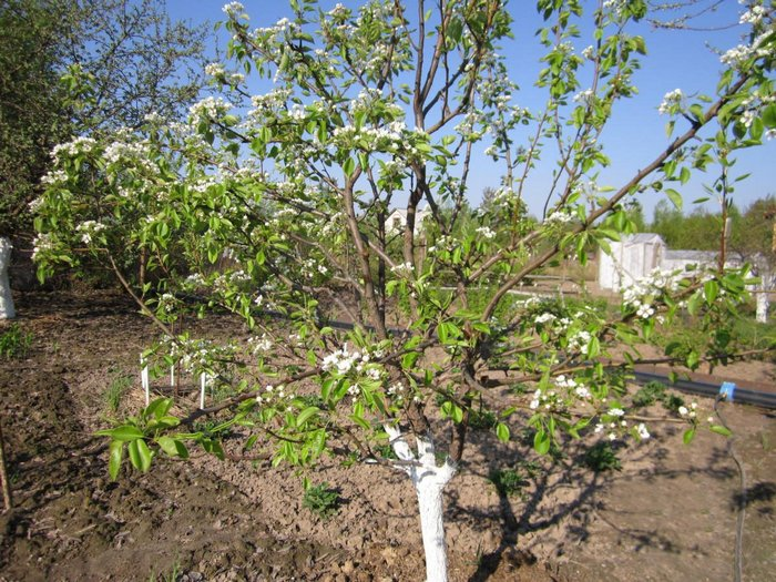 Первое плодоношение у груши наступает спустя 7-8 лет после посадки саженцев