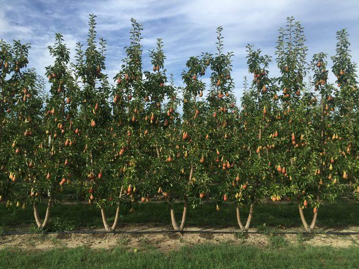 Плодовые деревья груши сорта Московская среднерослые