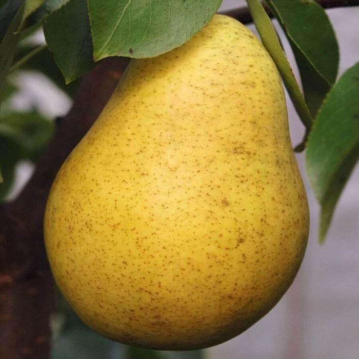 Плоды имеют округлую форму и светло-жёлтую кожицу, часто со светло-коричневыми пятнами