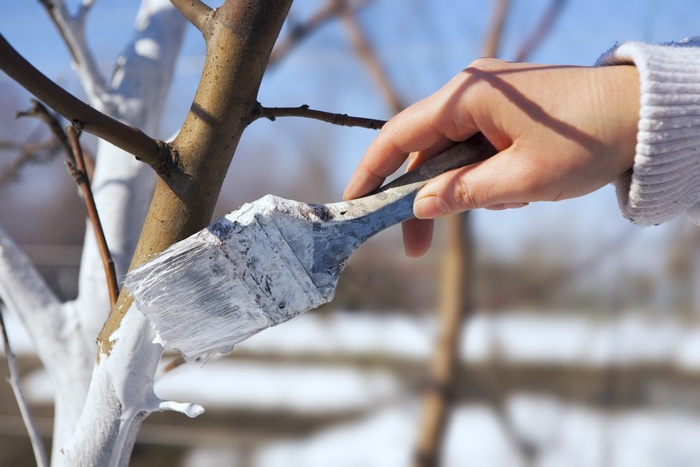 Побелка груши проводится 2 раза в год — весной и осенью