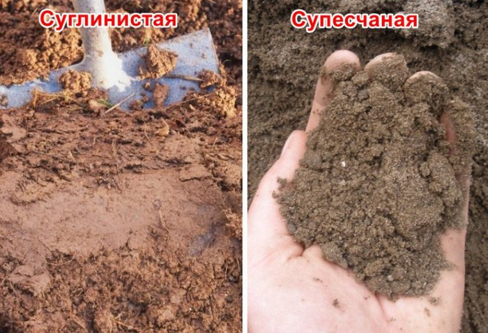 Почва для груши Дюймовочка предпочтительна нейтральная или слабощелочная