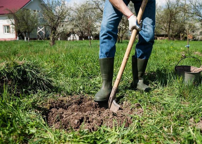 Почву для груши готовят заранее