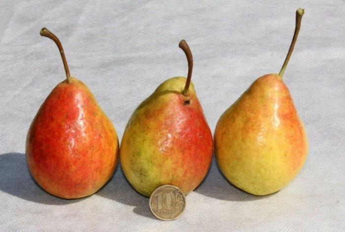 Сорт груши Северянка краснощекая отличается плодами небольшого размера