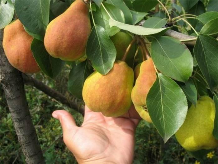 Средняя масса одного плода составляет 100-110 грамм