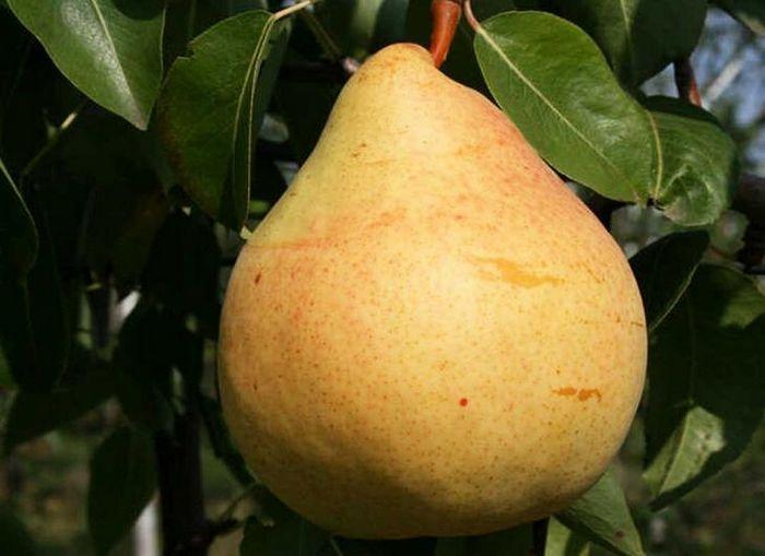 Средняя масса одного плода составляет 150-200 грамм