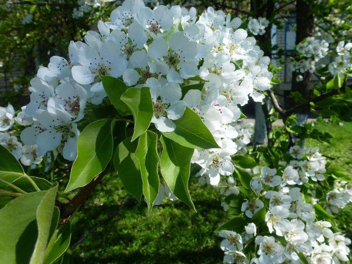 Цветение груши наступает в мае