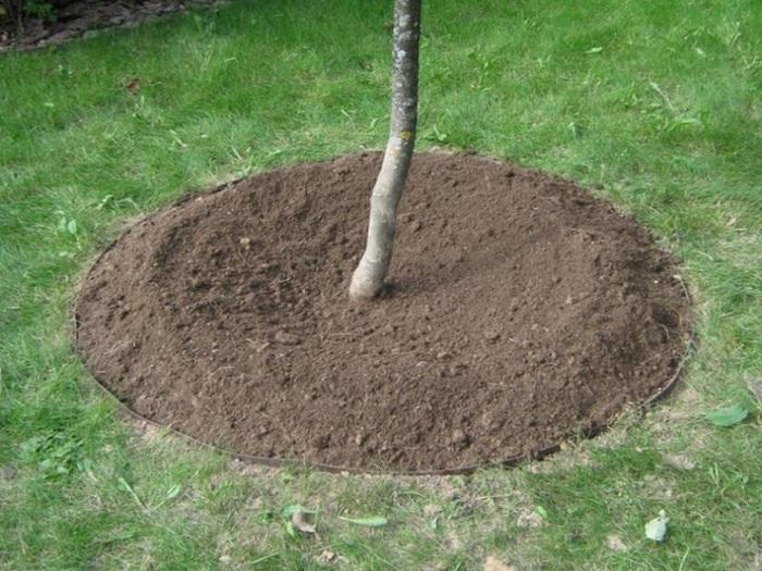 В конце посадки вокруг ствола дерева делается небольшое углубление