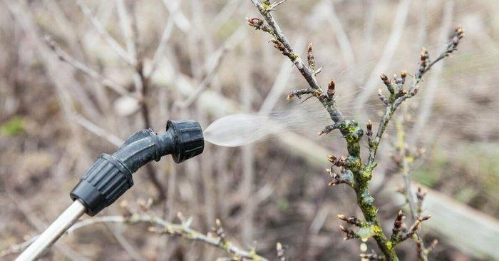Весенние профилактические обработки повышают устойчивость дерева к болезням и вредителям
