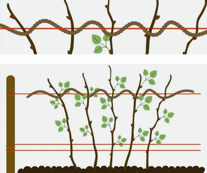 Необходимый этап ухода — подвязки