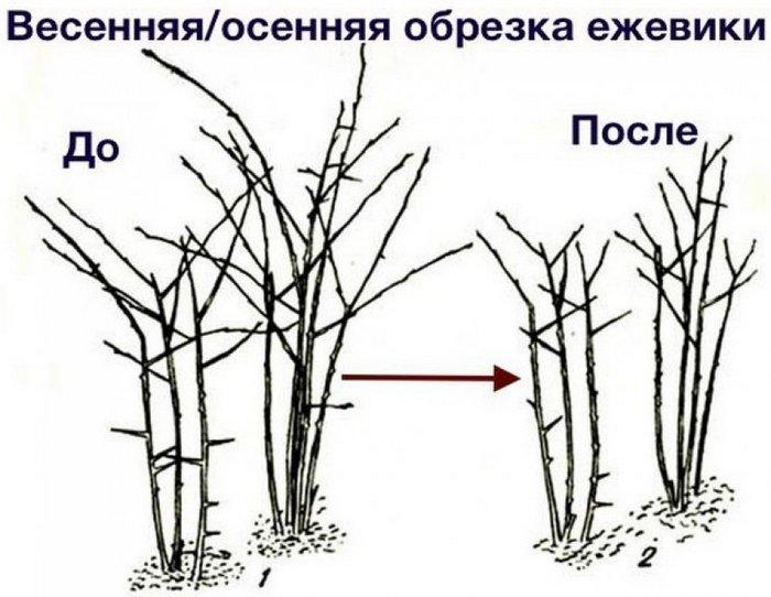 Обрезку растений осуществляют весной и осенью