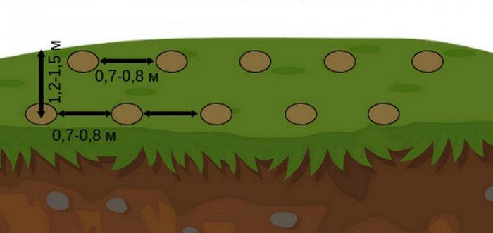 Схема посадки аналогична высадке малины