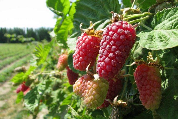 Выращивать сорт ежемалины Логанберри необходимо в регионах с тёплым климатом