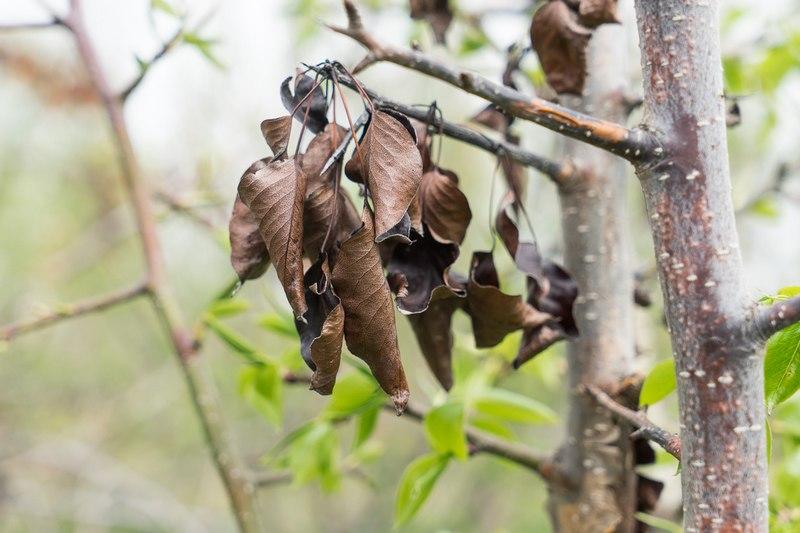 Бактериальный ожог листьев груши