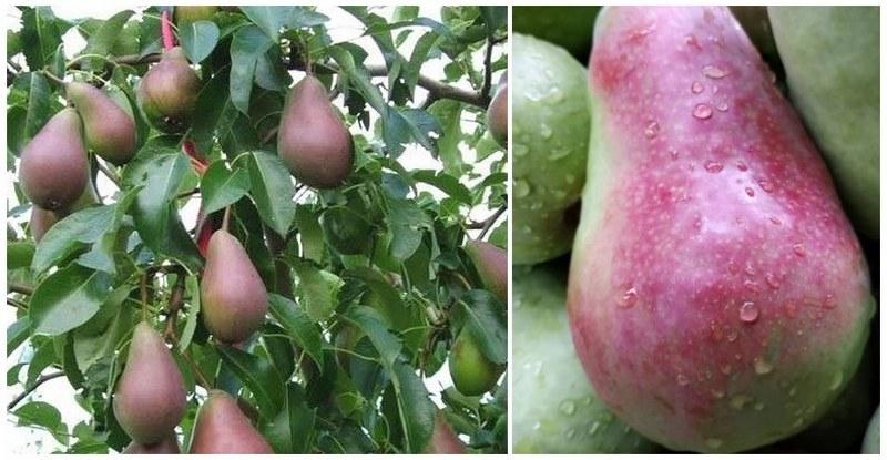 Бирюзовая груша отличается крупными и вкусными плодами