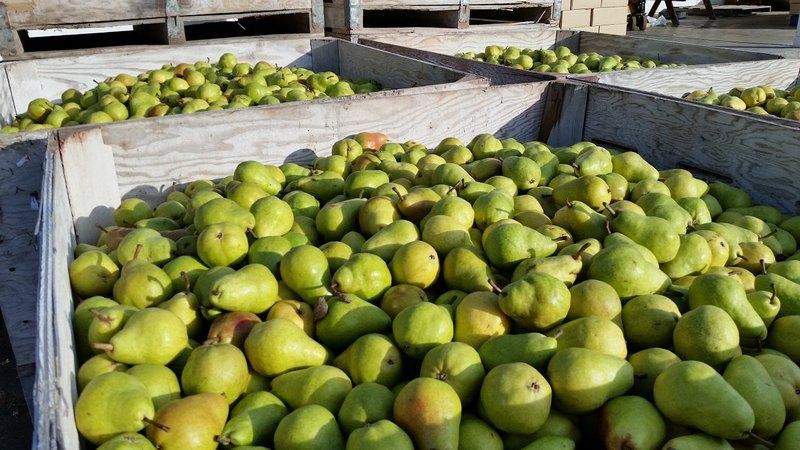 Чтобы груши долгое время не портились, следует собирать фрукты только начавшие спеть