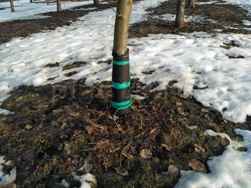 Для защиты от грызунов ствол дерева обматывают агроволокном
