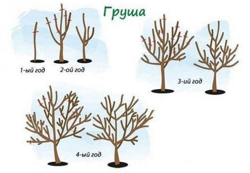 Формирование кроны груши в первые годы