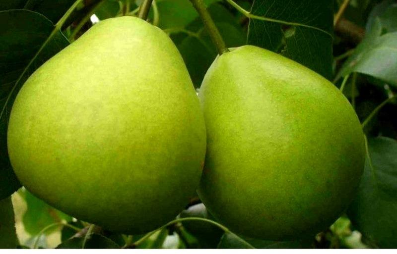Фаворитка относится к летним сортам груш, поэтому ее плоды не подлежат длительному хранению