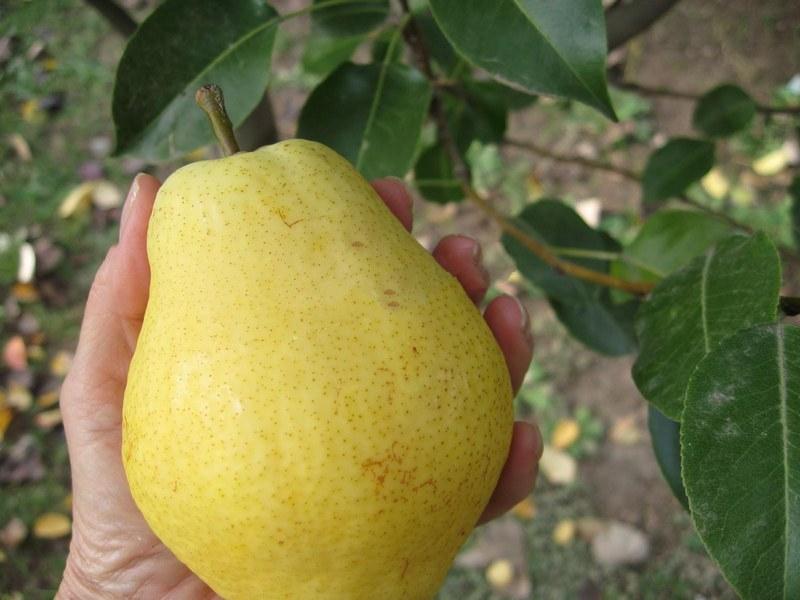Плоды груши сорта Киффер имеют терпкий вкус