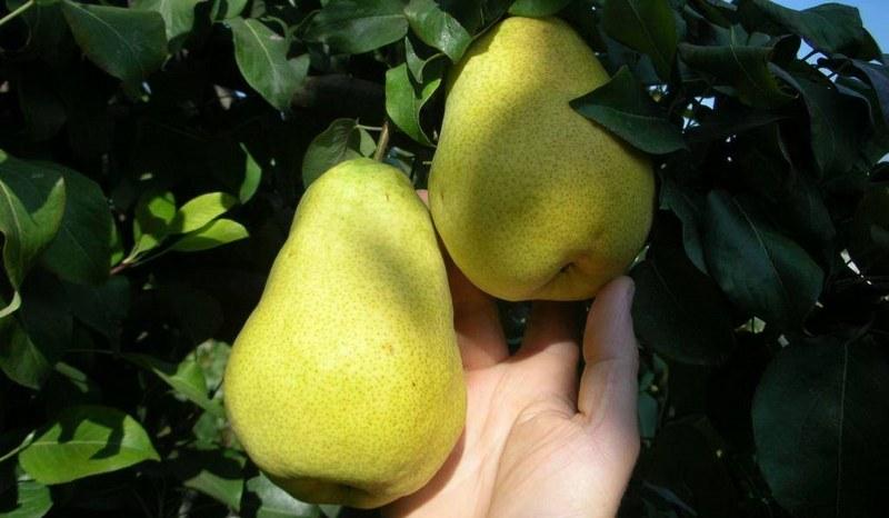 Груша Крымская Медовая порадует своими первыми плодами уже на третий год после посадки