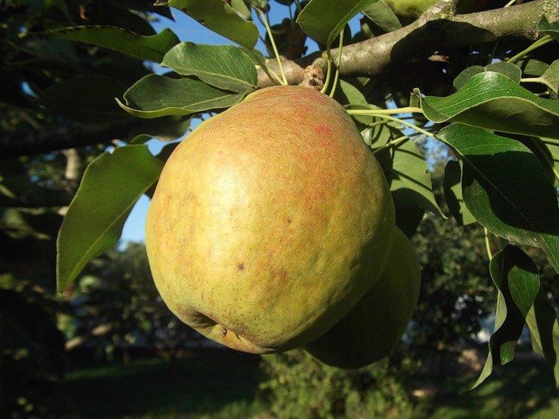 Груша Кубанская поздняя - идеальный сорт для сада, она не прихотлива, отличается хорошей урожайностью