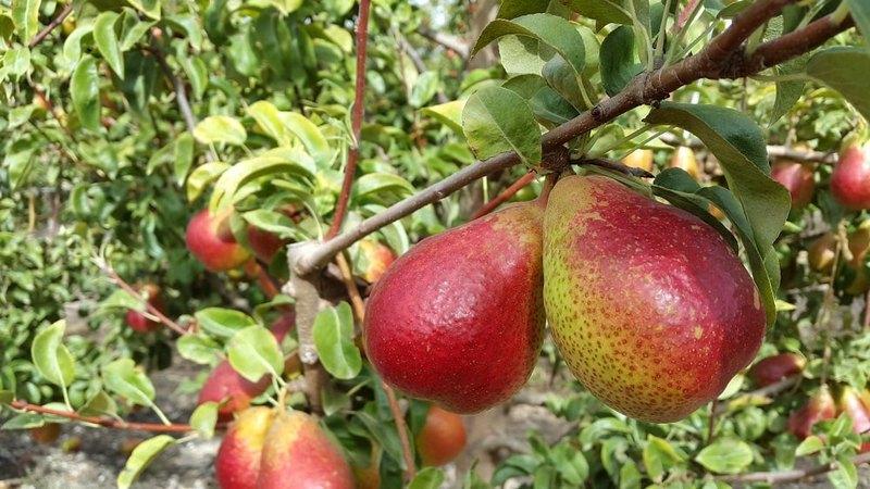Груша сорта Форель отлично подходит для выращивания в отечественном климате