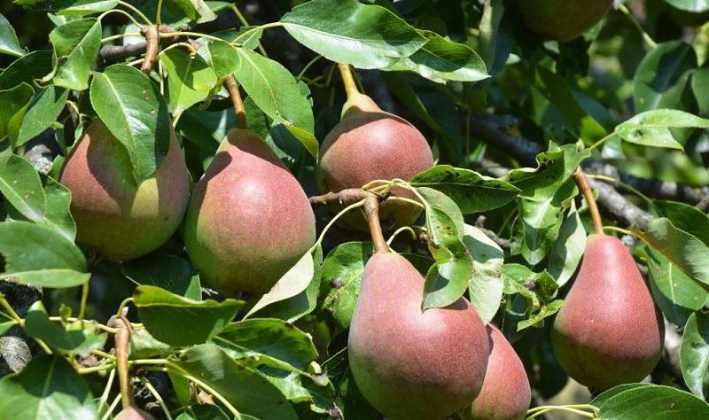 Грушу сорта Любимица Клаппа отличает урожайность и отличный вкус сочных плодов