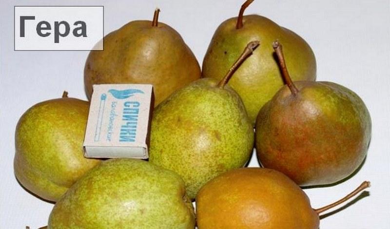Из основных преимуществ груши можно отметить крупный размер фруктов