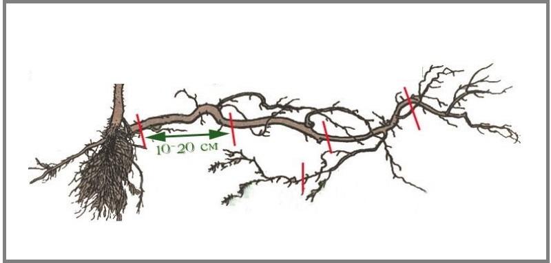 Прикорневой черенок - это элемент корня с боковым ответвлением, пригодный к самостоятельному росту