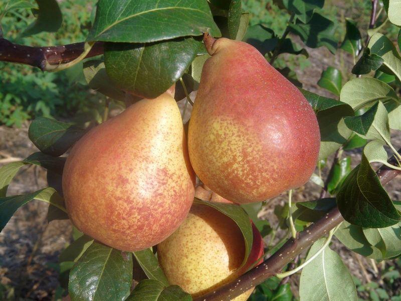 Краснодарская летняя - ранний сорт груши, поэтому сбор урожая приходится на середину августа